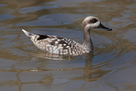anseriformes: Marbled duck (Marmaronetta angustirostris), also known as the marbled teal. Wild life animal. Stock Photo