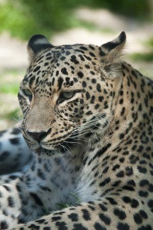 panthera pardus: Persian leopard (Panthera pardus saxicolor), also known as the Caucasian leopard. Wild life animal.