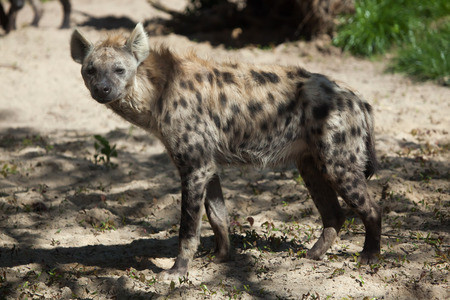 hyena: Spotted hyena (Crocuta crocuta), also known as the laughing hyena. Wild life animal.