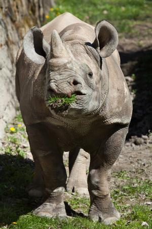 savannas: Black rhinoceros (Diceros bicornis). Wild life animal.