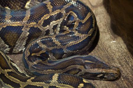 pythons: Burmese python (Python bivittatus). Wild life animal.