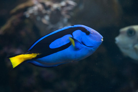 tang: Blue surgeonfish (Paracanthurus hepatus), also known as the blue tang. Wild life animal. Stock Photo