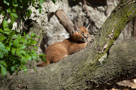 felid: Caracal (Caracal caracal) kitten. Wild life animal.