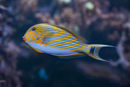 surgeon fish: Blue banded surgeonfish (Acanthurus lineatus), also known as the zebra surgeonfish. Wild life animal.