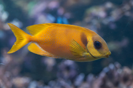 rabbitfish: Blue-spotted spinefoot (Siganus corallinus), also known as the coral rabbitfish. Wild life animal.
