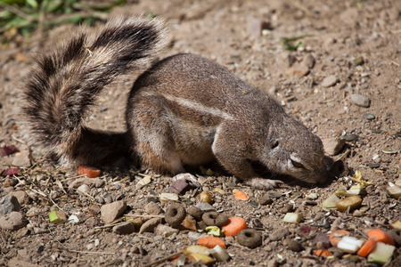xerus inauris: Cape ground squirrel (Xerus inauris). Wild life animal.