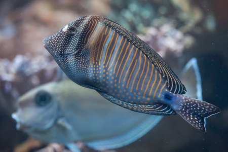 tang: Red Sea sailfin tang (Zebrasoma desjardinii), also known as the Desjardin sailfin tang. Wild life animal.