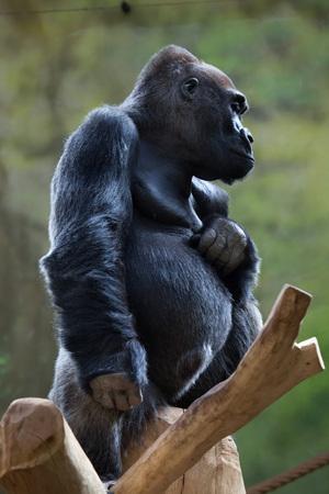 western lowland gorilla: Western lowland gorilla (Gorilla gorilla gorilla). Wild life animal. Stock Photo