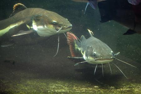 bagre: pez gato de cola roja (Phractocephalus hemioliopterus). animales de la vida silvestre. Foto de archivo