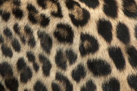 panthera pardus: Persian leopard (Panthera pardus saxicolor), also known as the Caucasian leopard. Fur texture. Wild life animal. Stock Photo