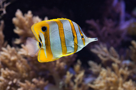 butterflyfish: Copperband butterflyfish (Chelmon rostratus). Wild life animal.