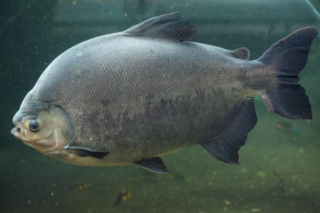 pacu: Tambaqui (Colossoma macropomum), also known as the giant pacu. Wild life animal.
