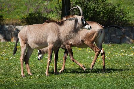 roan: Roan antelope (Hippotragus equinus). Wild life animal.