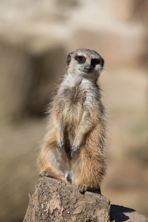 herpestidae: Meerkat (Suricata suricatta), also known as the suricate. Wild life animal. Stock Photo
