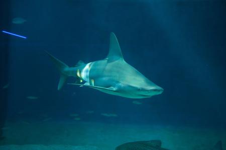 cartilaginous: Sandbar shark (Carcharhinus plumbeus). Wild life animal.