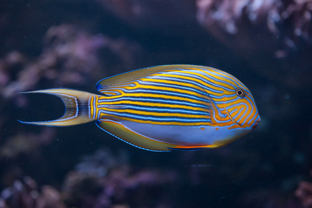 surgeonfish: Blue banded surgeonfish (Acanthurus lineatus), also known as the zebra surgeonfish. Wild life animal.