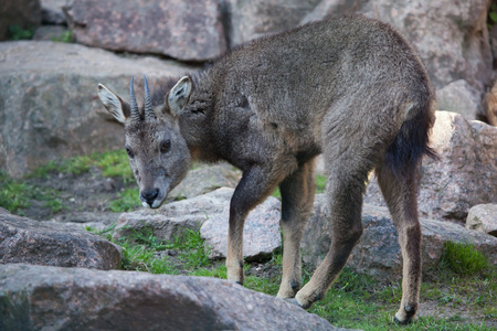 toed: Chinese goral (Nemorhaedus griseus), also known as the grey long-tailed goral. Wild life animal.