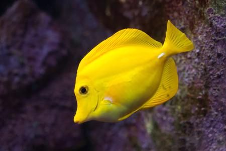 tang: Yellow tang (Zebrasoma flavescens). Wild life animal. Stock Photo