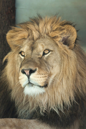 leo: Lion (Panthera leo). Wild life animal.