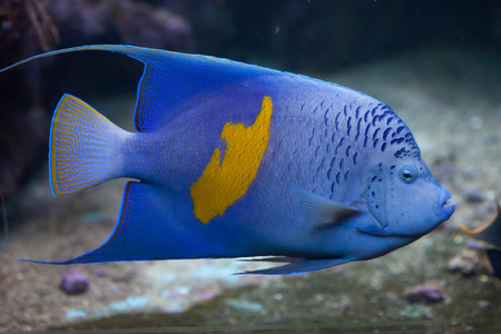 pomacanthus: Yellowband angelfish (Pomacanthus maculosus), also known as the halfmoon angelfish. Wild life animal.