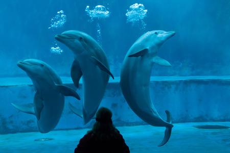bottlenose: GENOA, ITALY - MARCH 22, 2016: Animal trainer performs with common bottlenose dolphins (Tursiops truncatus) in the Genoa Aquarium in Genoa, Liguria, Italy.