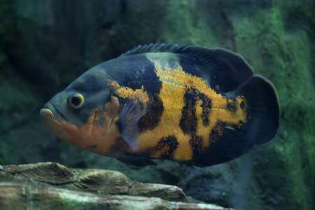 Oscar (Astronotus ocellatus). Wild life animal. Stock Photo