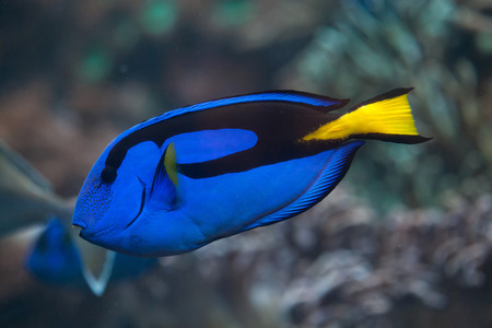 Blue surgeonfish (Paracanthurus hepatus), also known as the blue tang. Wild life animal. Stock Photo