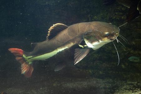 catfish: Redtail catfish (Phractocephalus hemioliopterus). Wild life animal.