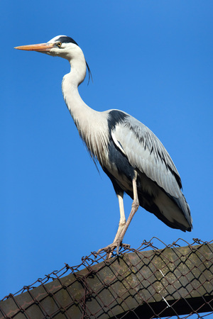 herodias: Great blue heron (Ardea herodias). Wild life animal. Stock Photo