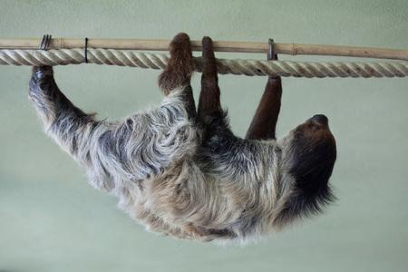 sloth: perezoso de dos dedos del Sur (Choloepus didactylus). animales de la vida silvestre.