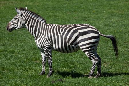 savannas: Grant zebra (Equus quagga boehmi). Wild life animal. Stock Photo