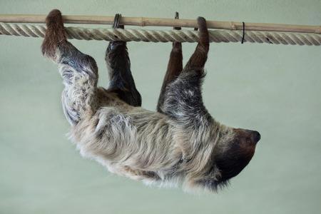 sloth: Southern two-toed sloth (Choloepus didactylus). Wild life animal. Stock Photo