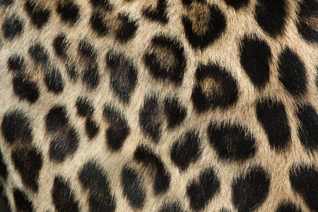 pardus: Persian leopard (Panthera pardus saxicolor), also known as the Caucasian leopard. Fur texture. Wild life animal. Stock Photo