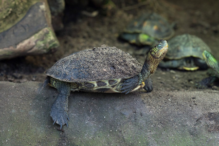 ocadia sinensis: Chinese stripe-necked turtle (Ocadia sinensis), also known as the golden thread turtle. Wild life animal.