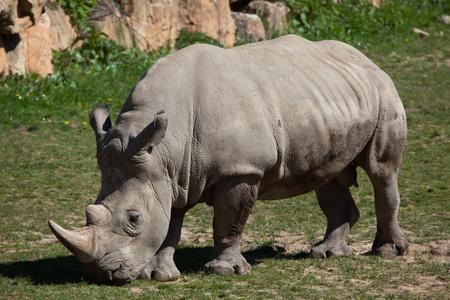 savannas: Southern white rhinoceros (Ceratotherium simum simum). Wild life animal. Stock Photo