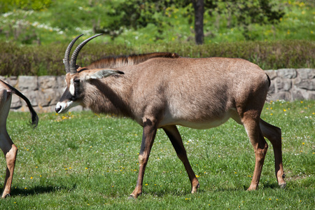 bovid: Roan antelope (Hippotragus equinus). Wild life animal.