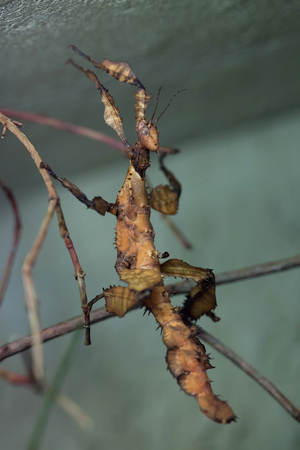 spectre: Giant prickly stick insect (Extatosoma tiaratum), also known as the Australian walking stick. Wild life animal.