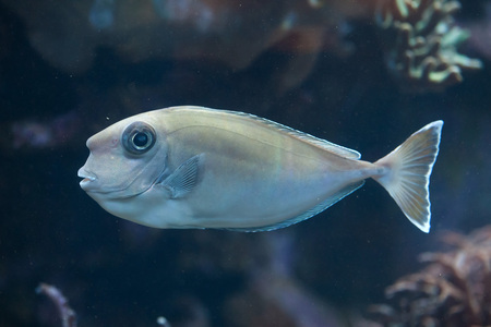 Bluespine unicornfish (Naso unicornis), also known as the short-nose unicornfish. Wild life animal.