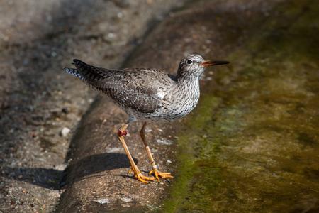 botas altas: archibebe com�n (Tringa totanus). animales de la vida silvestre.