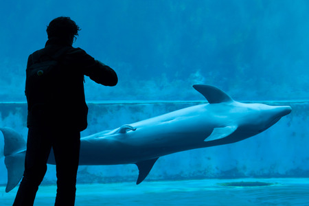 bottlenose: GENOA, ITALY - MARCH 22, 2016: Visitor takes photos as the common bottlenose dolphin (Tursiops truncatus) swims with an erected penis in the Genoa Aquarium in Genoa, Liguria, Italy. Editorial