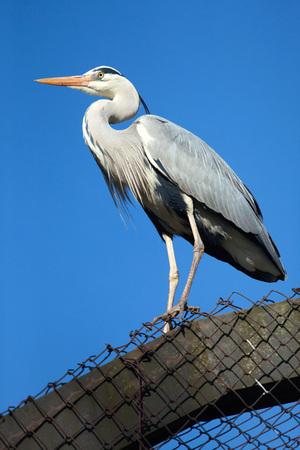 ardeidae: Great blue heron (Ardea herodias). Wild life animal. Stock Photo