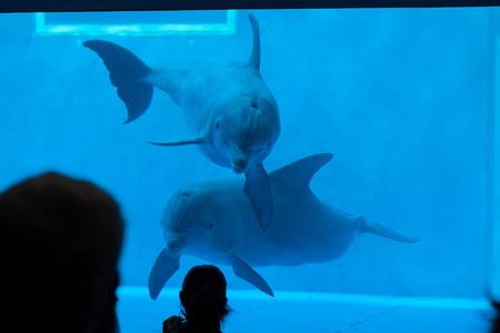 bottlenose: GENOA, ITALY - MARCH 22, 2016: Visitors observe as common bottlenose dolphins (Tursiops truncatus) swim in the Genoa Aquarium in Genoa, Liguria, Italy.