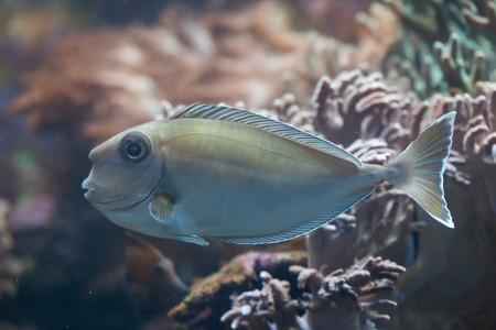 naso: Bluespine unicornfish (Naso unicornis), also known as the short-nose unicornfish. Wild life animal.