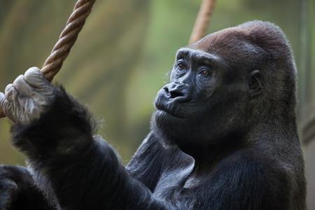 lowland: Western lowland gorilla (Gorilla gorilla gorilla). Wild life animal. Stock Photo