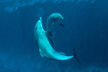 bottlenose: Common bottlenose dolphins (Tursiops truncatus). Wild life animal.