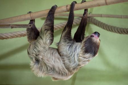oso perezoso: perezoso de dos dedos del Sur (Choloepus didactylus). animales de la vida silvestre.