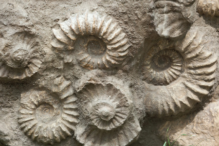 prehistoric animals: Scaphites from the family of heteromorph ammonites widespread during the Cretaceous Period found as fossils. Extinct prehistoric animals.