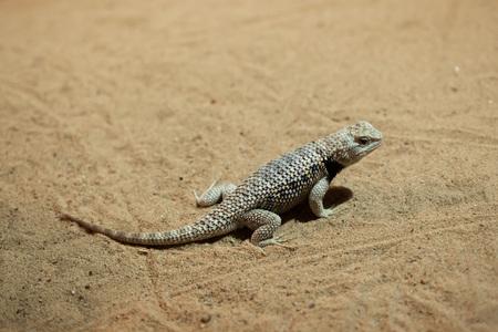 spiny: Desert spiny lizard (Sceloporus magister). Wildlife animal. Stock Photo