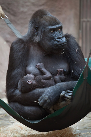 lowland: Western lowland gorilla (Gorilla gorilla gorilla) with its two-week-old baby. Wildlife animal.