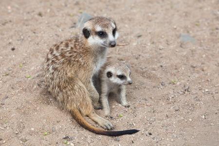 ミーアキャット (ミーアキャット属 suricatta)、アドオンとしても知られています。野生動物。
